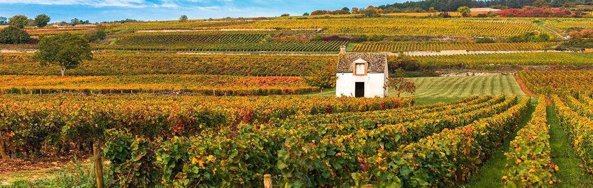 Viñedos en Burgundy, Francia