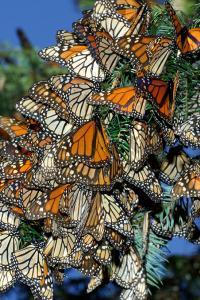 Mariposas monarca, Michoacán, México