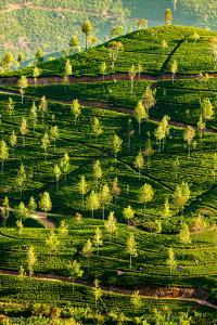 Plantación de té, Sri Lanka