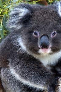 Turismo sostenible: miles de koalas han perdido el 80% de su hábitat en Australia