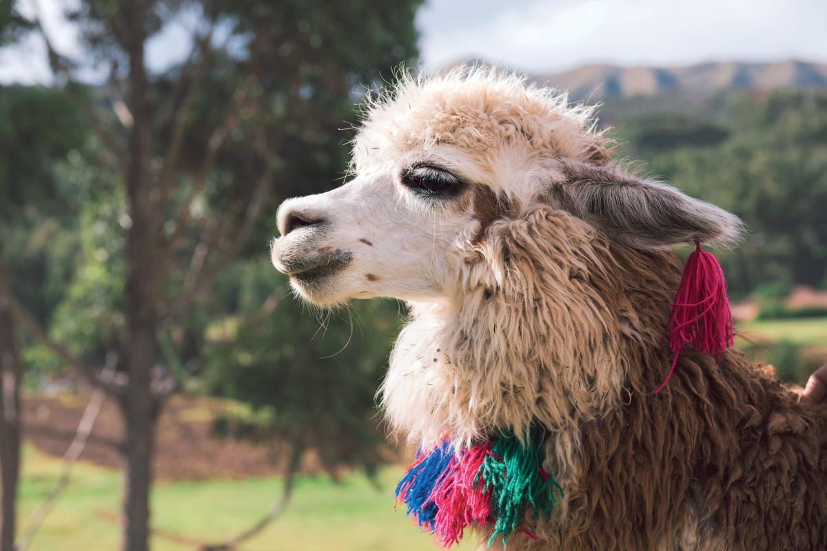 En Choquequirao, Perú, se encuentran creaciones en piedra que representan a las llamas