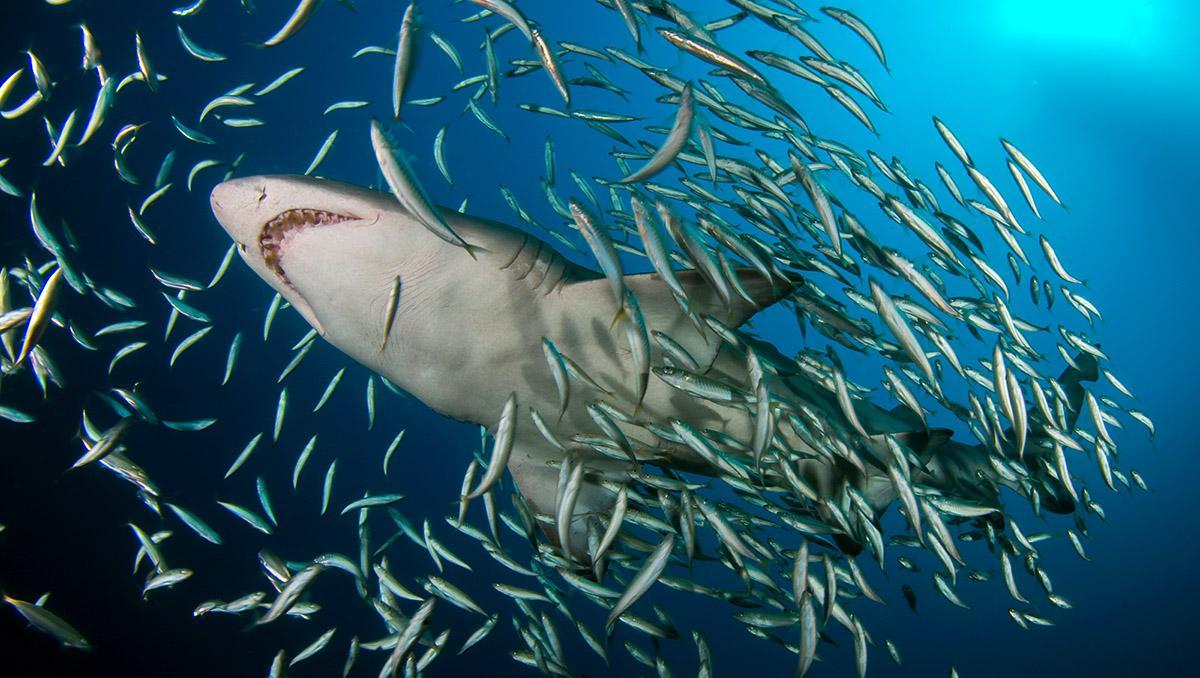Tiburón blanco de arena, Carolina de Norte, EE UU