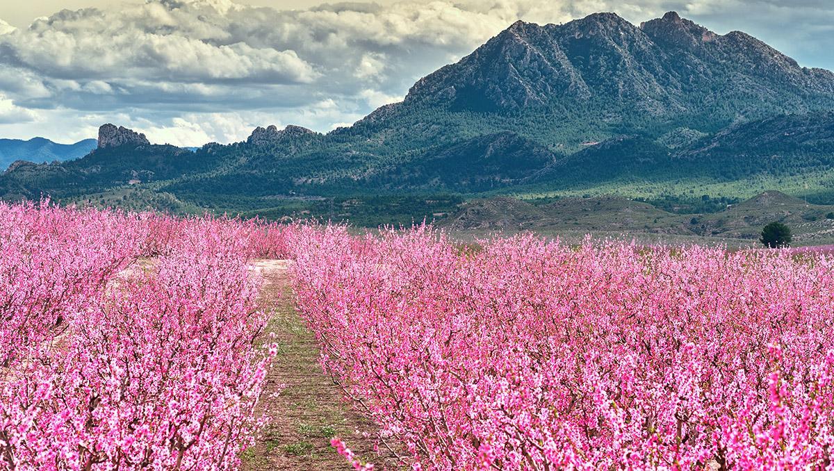 Floración de los melocotoneros, Cieza, Murcia