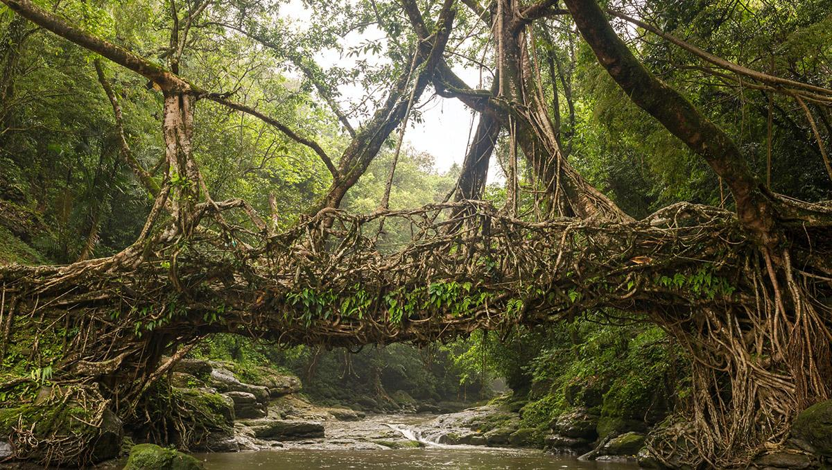 Puentes arbóreos de Meghalaya, Mawsynram y Cherrapunji, India
