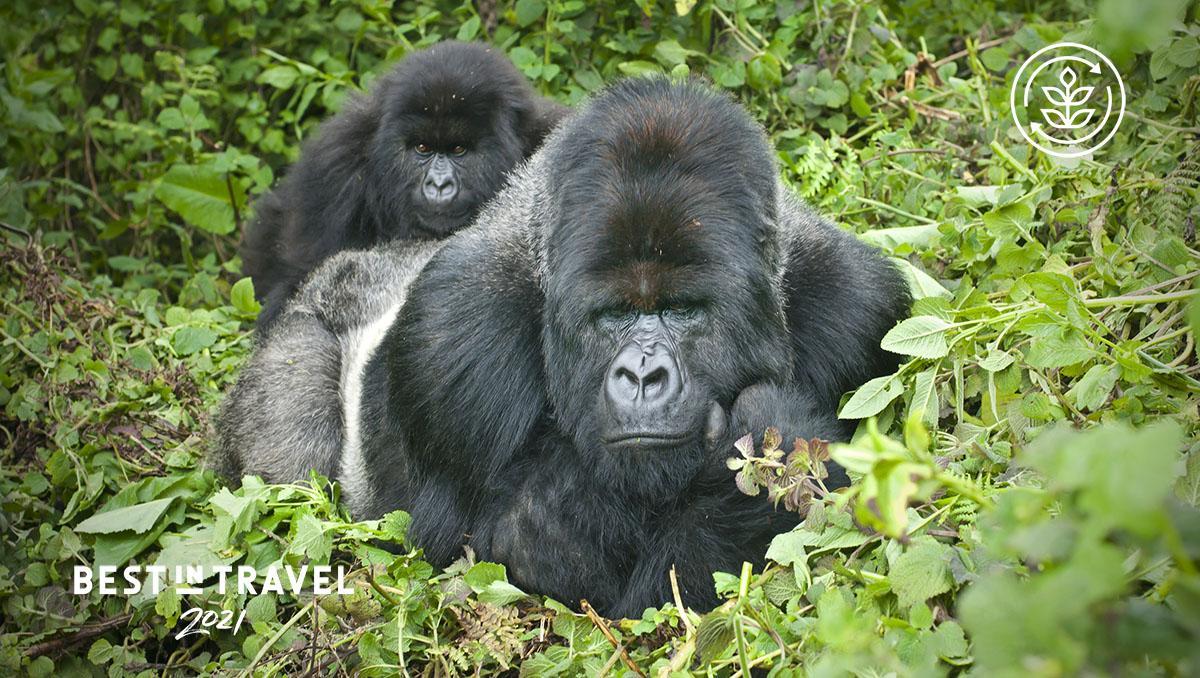 Gorilas de espalda plateada en el Parque Nacional de los Volcanes, Ruanda