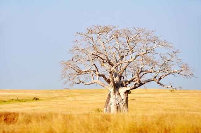 Baobab en el Parque Nacional de Kissama, Angola