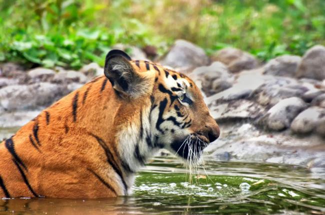 Tigre de Bengala, Parque Nacional Sundarbans, Bangladés