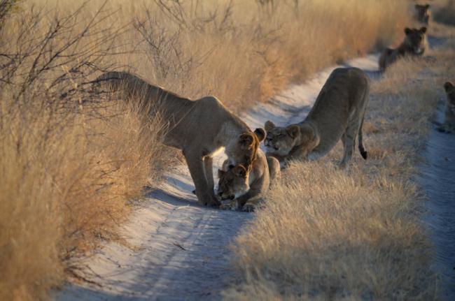 Reserva de Caza del Kalahari Central, Botsuana