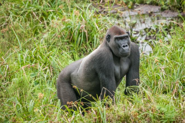Reserva de Gorilas Lésio Louna, República del Congo