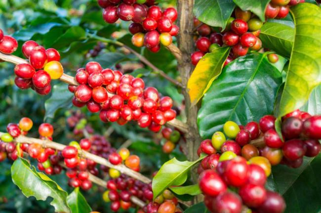 Cafetal, Costa Rica