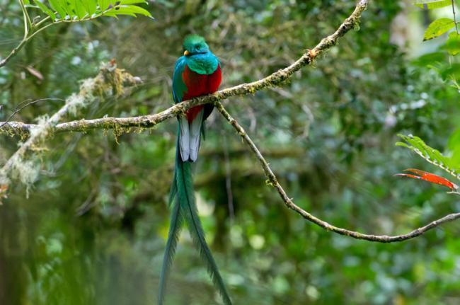 Quetzal en San Gerardo de Dota, Costa Rica