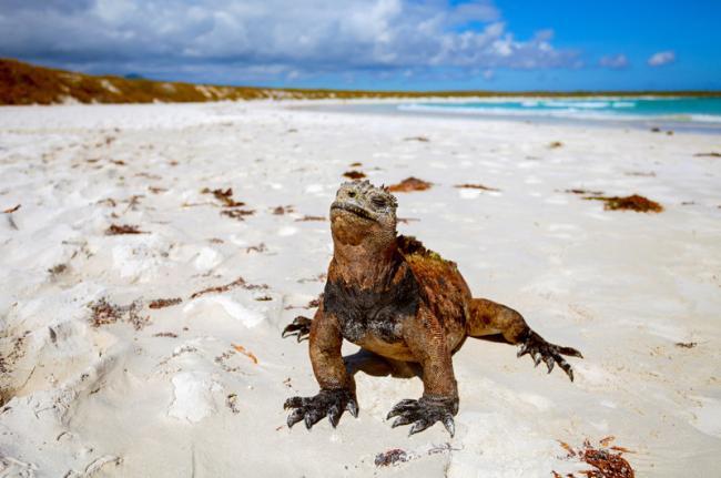 Iguana, islas Galápagos, Ecuador