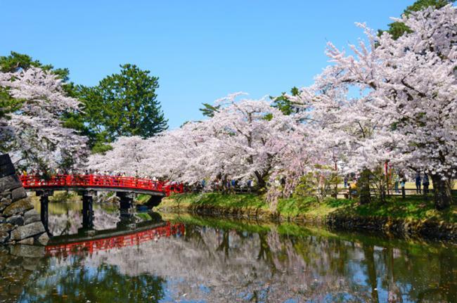 Floración de los cerezos en Hirosaki, Japón