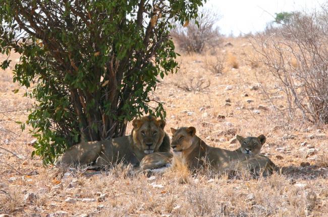 Leones en el Parque Nacional de Tsavo, Kenia