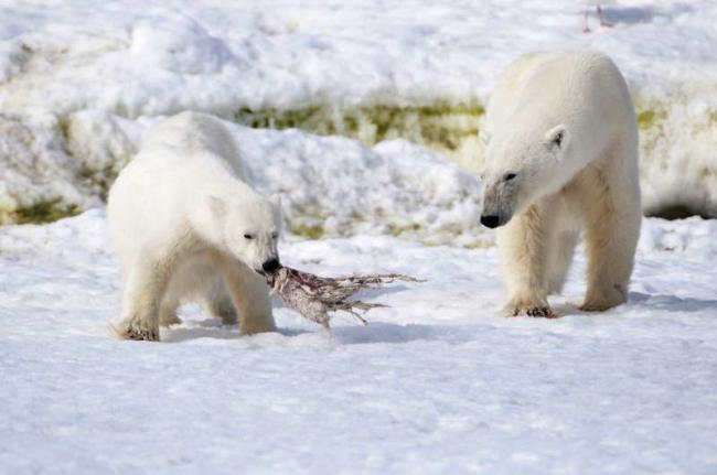 Osos polares en el archipiélago de Svalbard, Noruega
