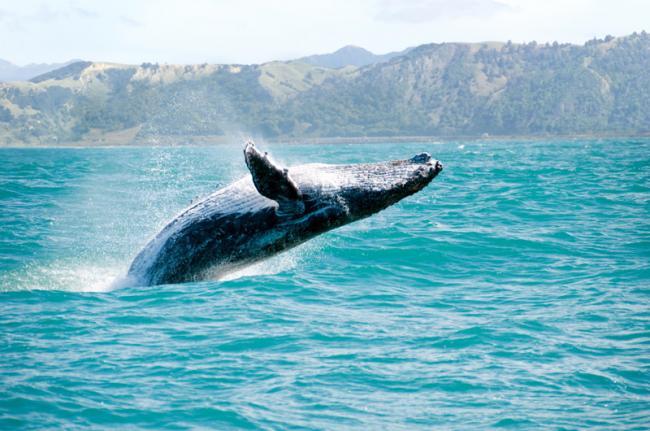 Ballena en la costa de Kaikoura, Nueva Zelanda