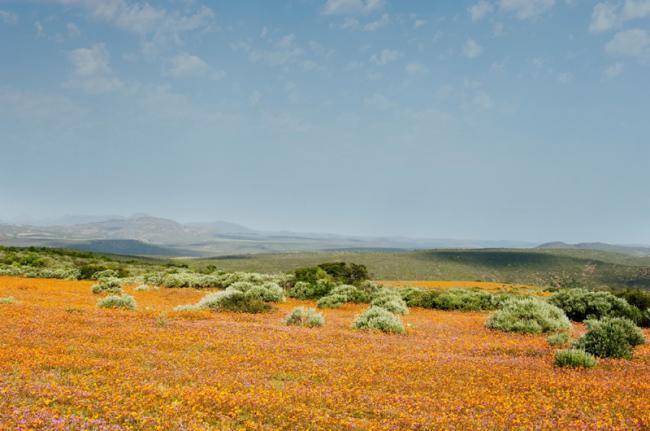 Flores silvestres de Namakwa, Sudáfrica