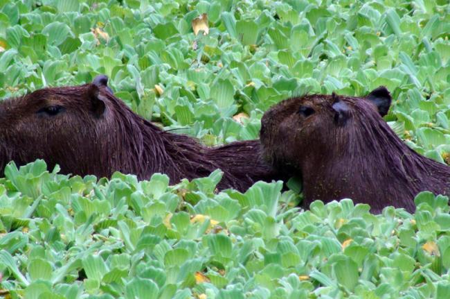 Capibaras, Los Llanos, Venezuela