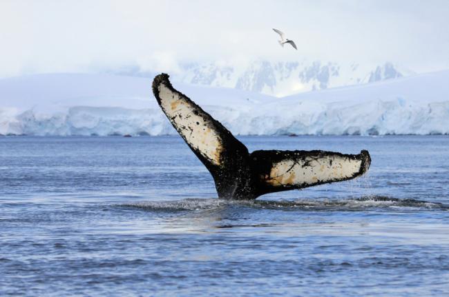 Avistamiento de ballenas en la Antártida