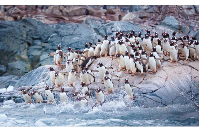 Pingüinos gentú, Isla Cuverville, Antártida