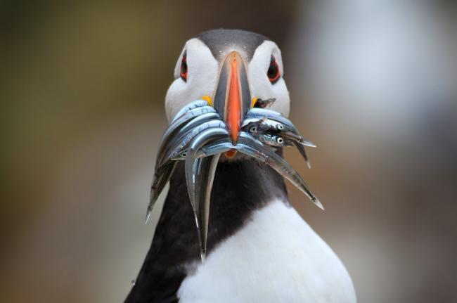 Observación de aves enlas islas Shetland, Escocia