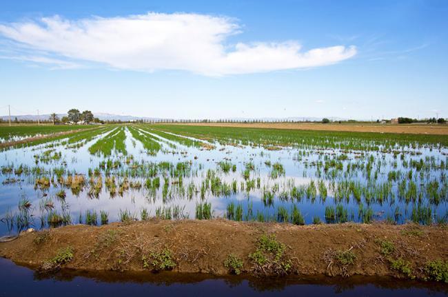 Arrozales del Delta del Ebro, Cataluña, España
