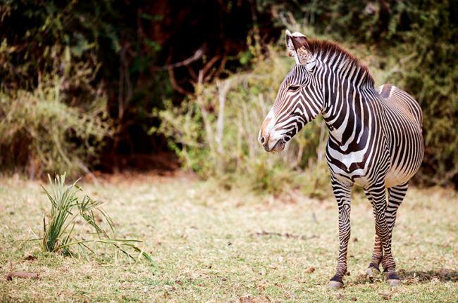 Samburu National Reserve, Kenia