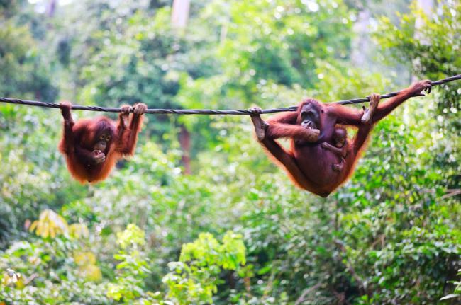 Centro de Rehabilitación de Orangutanes de Sepilok, Malasia