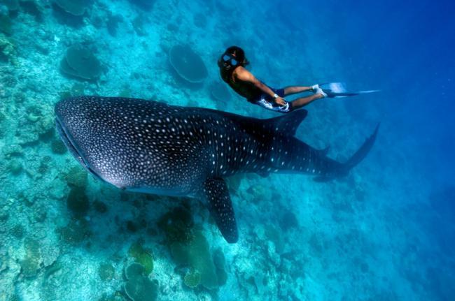 Nadar con un tiburón ballena, Maldivas