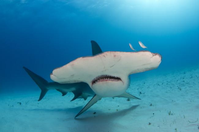 Tiburón Martillo, Maldivas