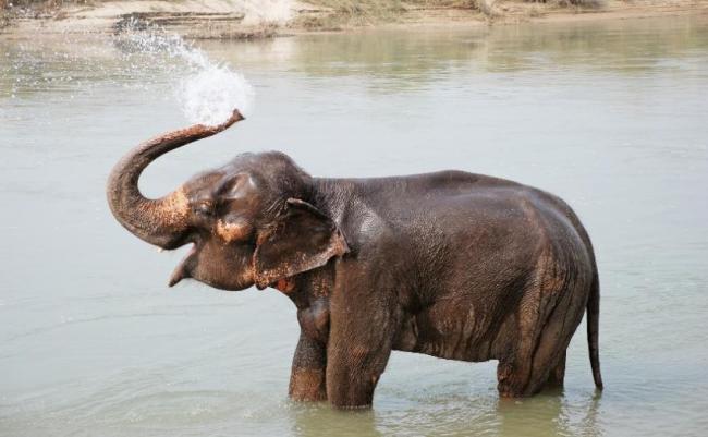 Elefante en el Parque Nacional de Chitwan, Nepal.
