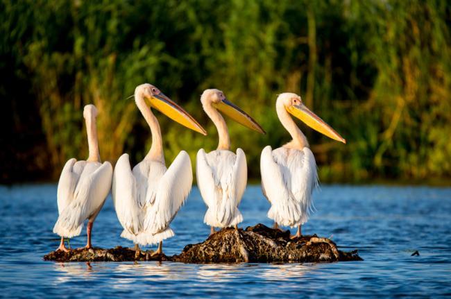 Fauna del delta del Danubio, Rumanía