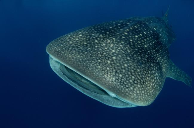 Tiburón ballena, Seychelles
