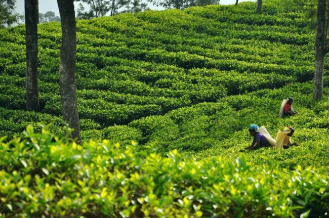 Plantaciónde té, Sri Lanka