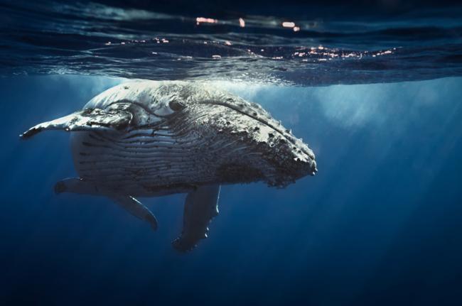 Observación de ballenas, Tonga