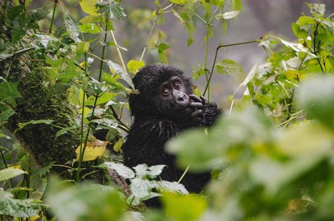 Parque Nacional Impenetrable de Bwindi, Uganda