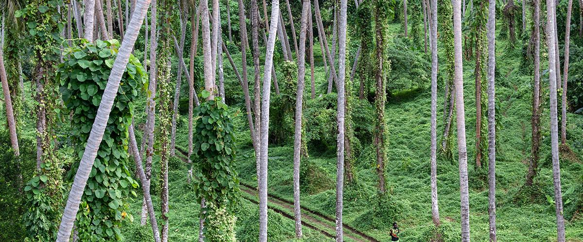 En la exuberante selva de Pentercost, Vanuatu